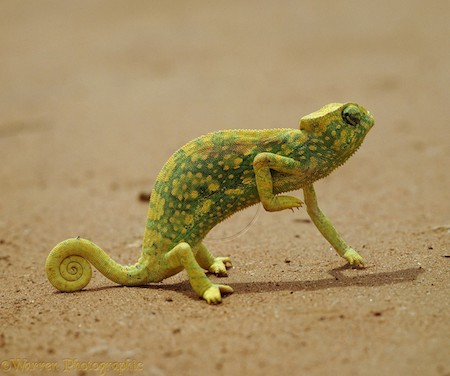 Graceful Chameleon (Chamaeleo gracilis)